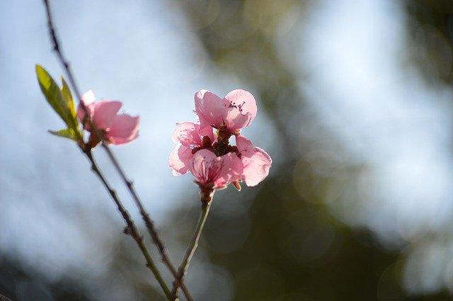 Blossom Bloom Pink Flower Nature  - Erniene / Pixabay