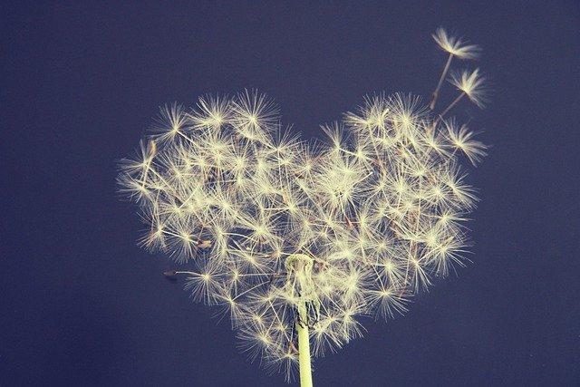 Dandelion Heart Wish You Love  - Kranich17 / Pixabay