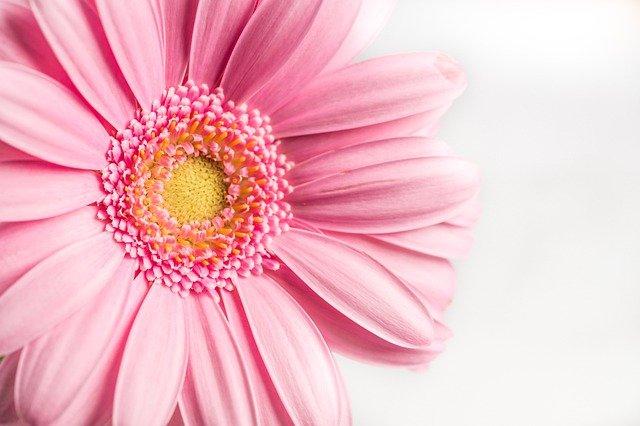 Flower Pink Gerbera Nature Spring  - Nietjuh / Pixabay