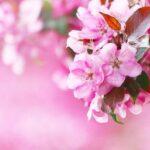 Flowers Pink Flowering Spring  - katerinavulcova / Pixabay