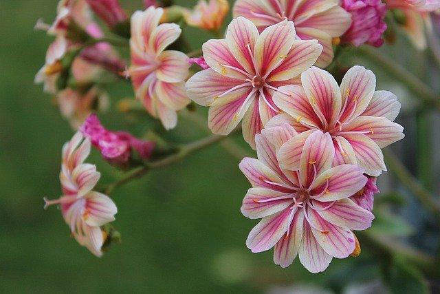 Houseleek Houseleek Flowers Flora  - Sabine_Zierer / Pixabay