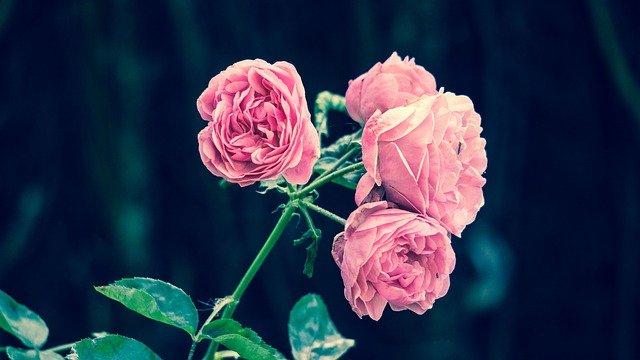 Pink Roses Flower Garden Pink  - mwitt1337 / Pixabay