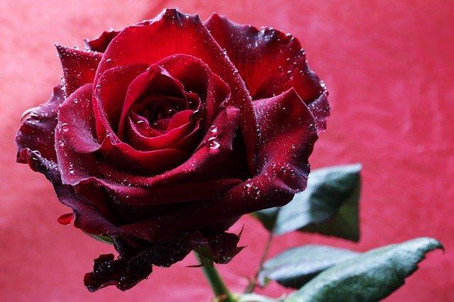 Red Rose Rose Flower Passion  - armennano / Pixabay
