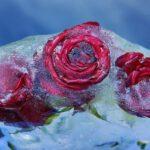 Red Roses Flower Rose Bloom Frozen  - Couleur / Pixabay