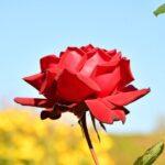 Rose Blossom Bloom Garden Flowers  - Sinousxl / Pixabay