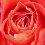 Rose Flower Dew Dewdrops Droplets  - Mammiya / Pixabay
