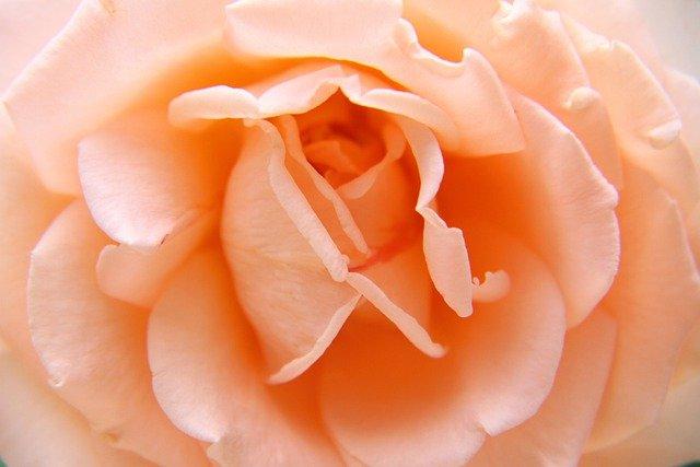 Rose Flower Love Bloom Blossom  - japanibackpacker / Pixabay