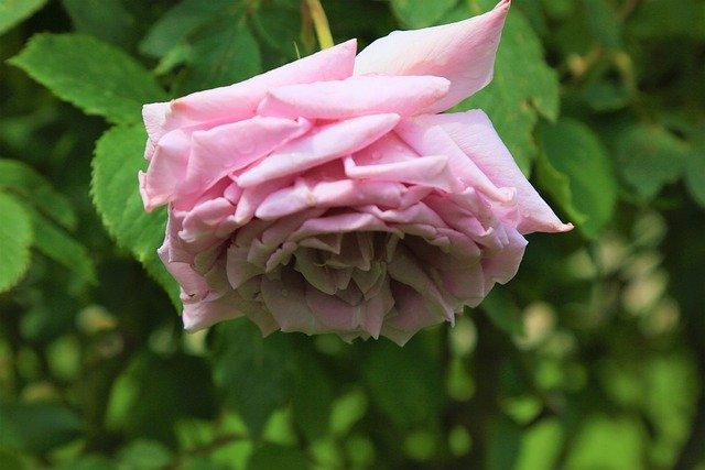 Rose Flower Love Nature Pink  - Konevi / Pixabay