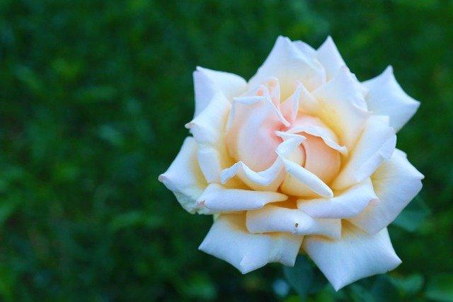 Rose Flower Nature Love Pink  - Konevi / Pixabay