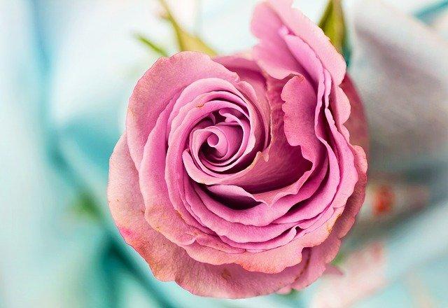 Rose Flower Petal Love Floral  - JillWellington / Pixabay