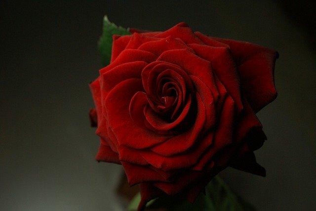 Rose Flower Plant Red Rose  - Lenearise / Pixabay