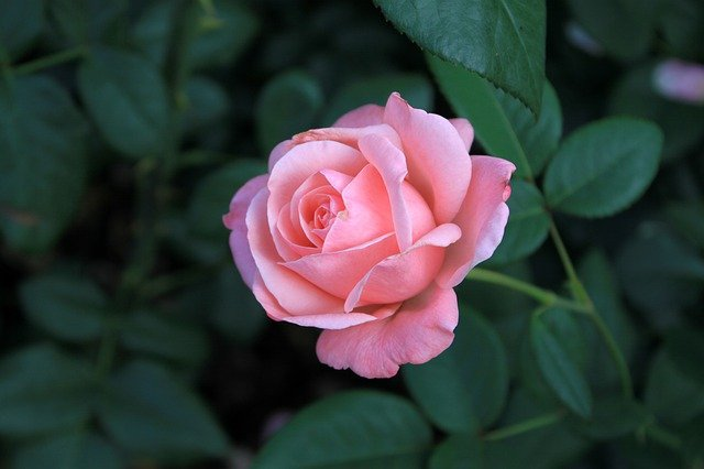 Rose Flowers Summer Romantic  - Gray_Rhee / Pixabay