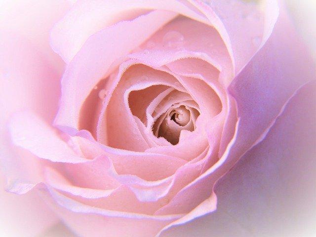 Rose Rose Bloom Petals Macro  - silviarita / Pixabay