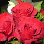 Roses Rose Flowers Flower  - violetta / Pixabay