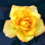 Yellow Rose Yellow Rose Flower  - Guddanti / Pixabay
